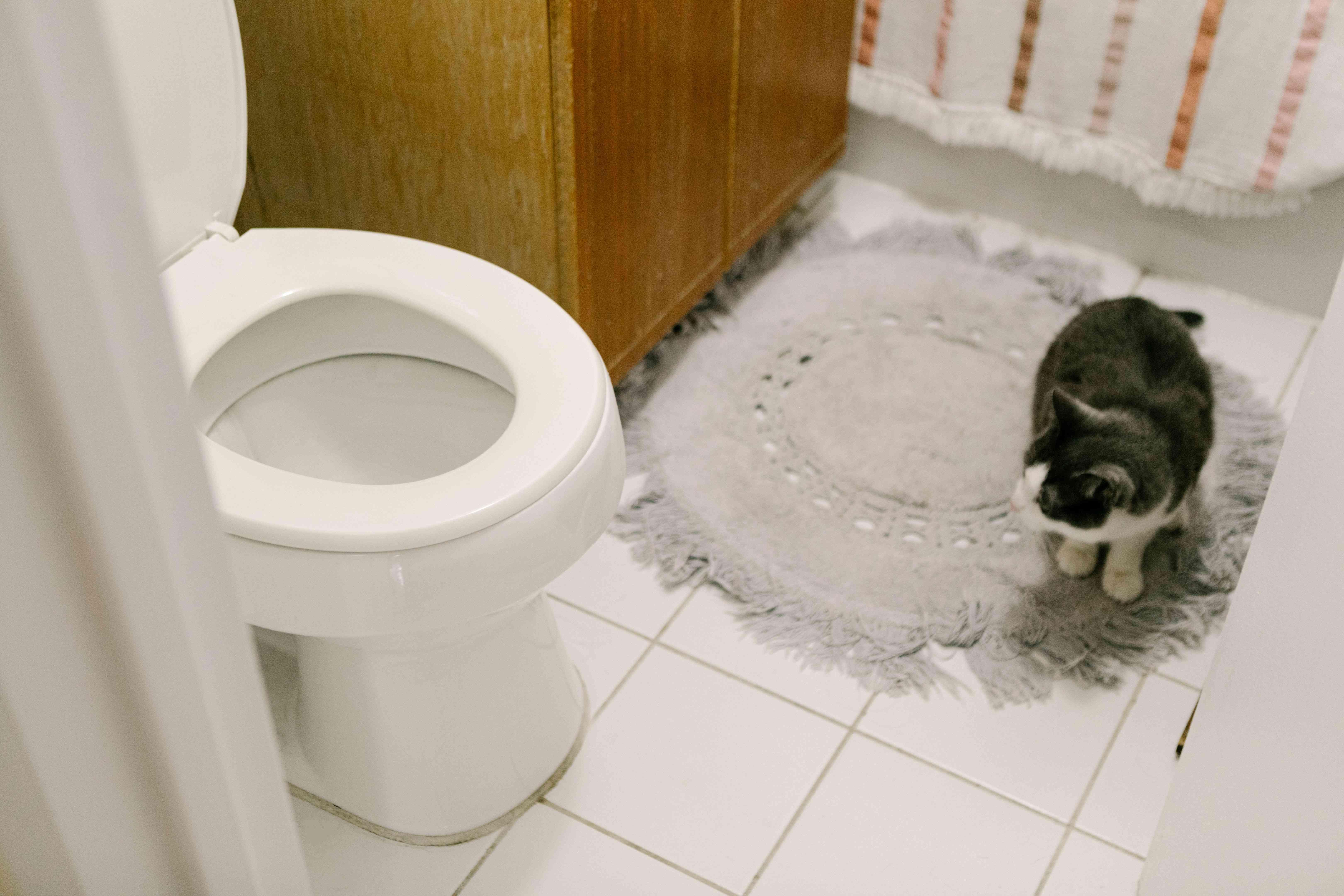 cat studies toilet while sitting on gray rug in bathroom