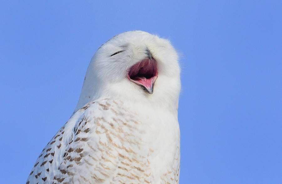 snowy owl yawn