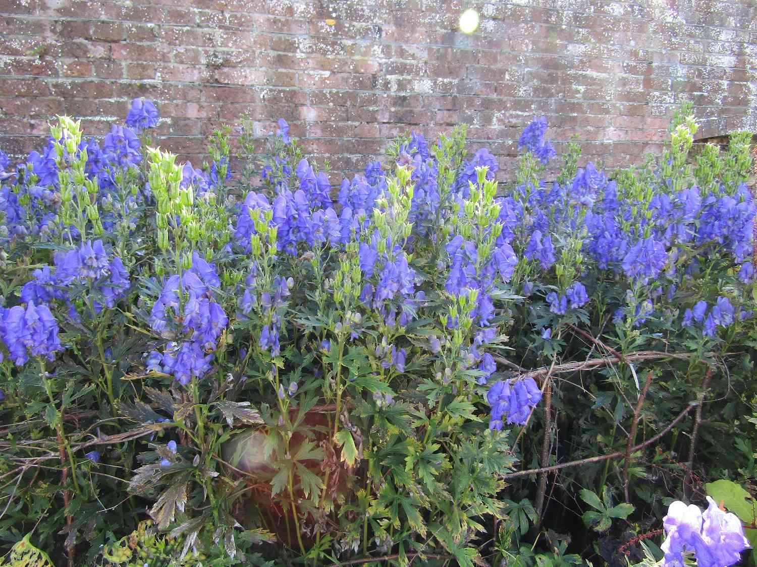 Blueish-purple flowers interspersed among green leaves in front of a brick wall