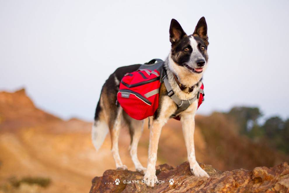 How to Train Your Dog to Wear a Backpack