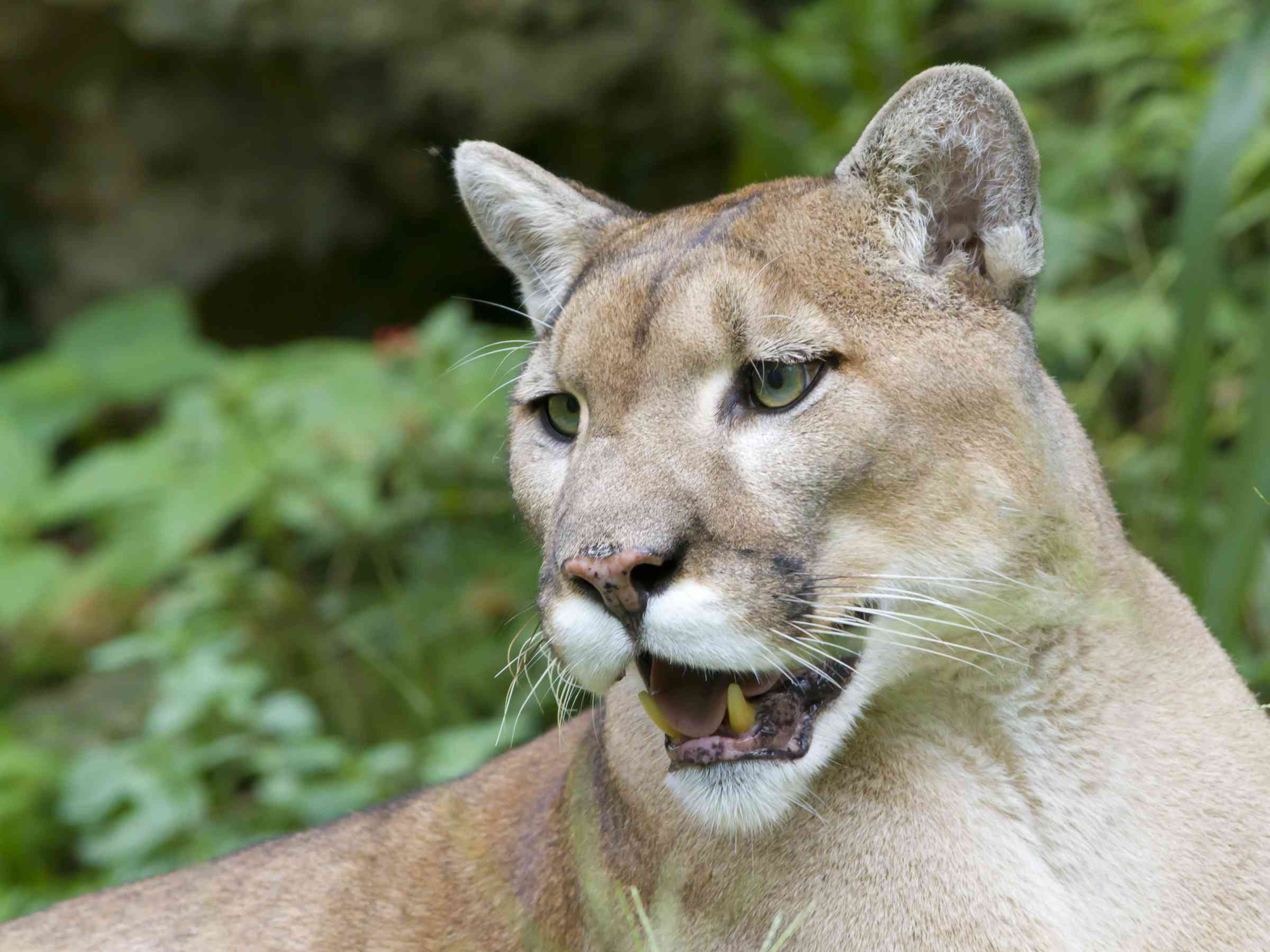 An endangered Florida panther in the Florida Everglades