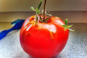 tomato seeds sprouting inside a tomato