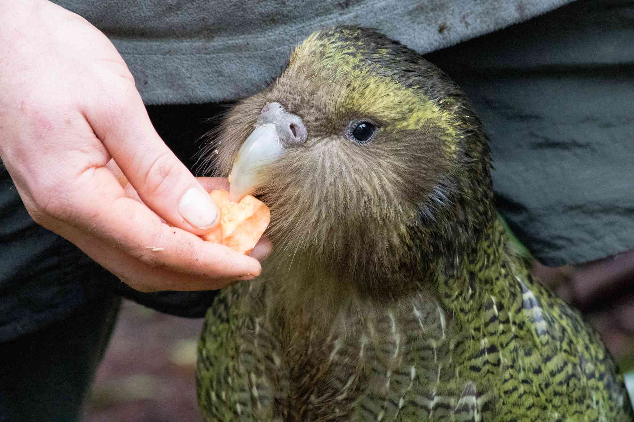 A juvenile Kakapo being fed by a hand.