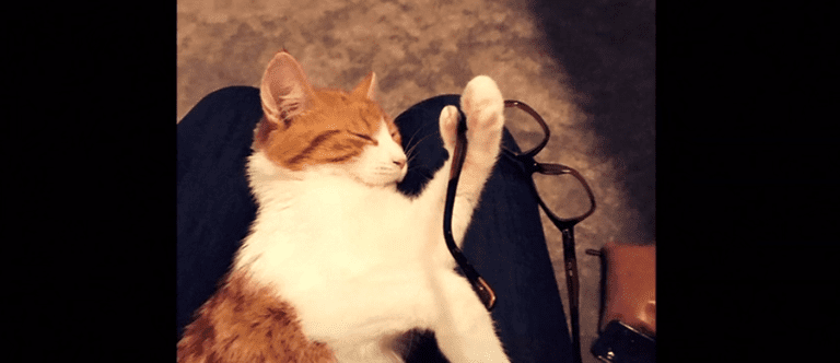 6-toe cat naps with a pair of glasses hung over his 6th toe