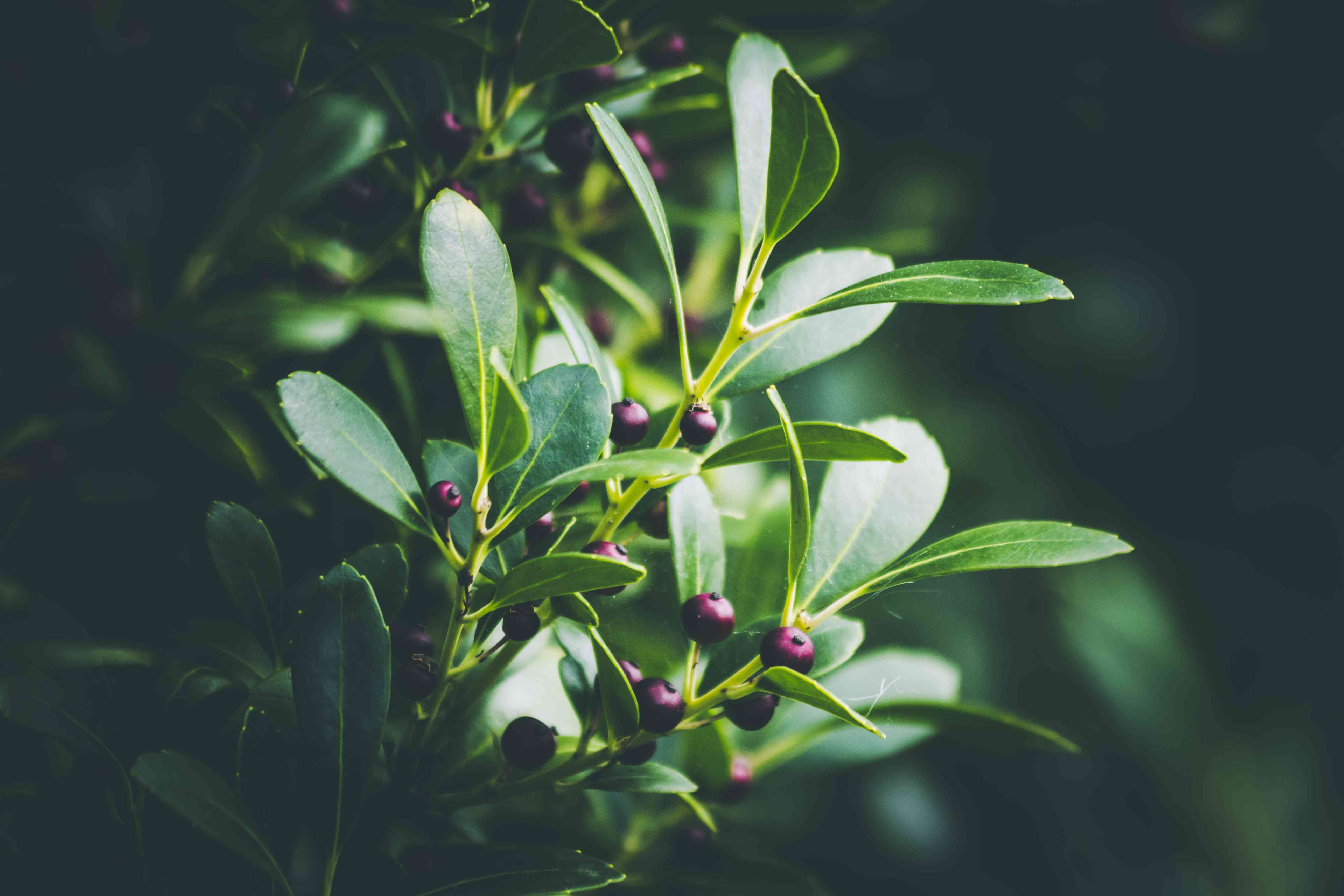 Closeup shot of An Evergreen winterberry or Inkberry Holly