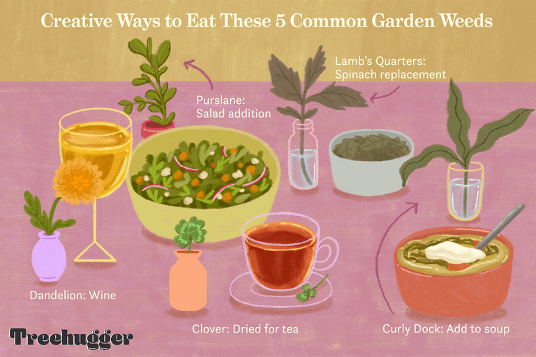 color illustration of 5 common garden weeds that you can eat or drink