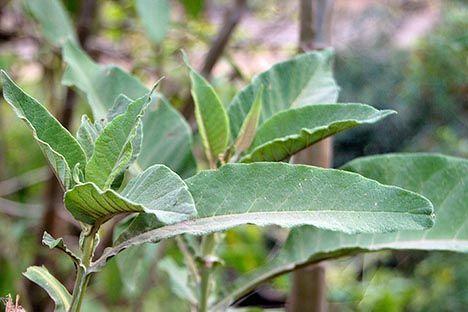 tobacco leaves photo