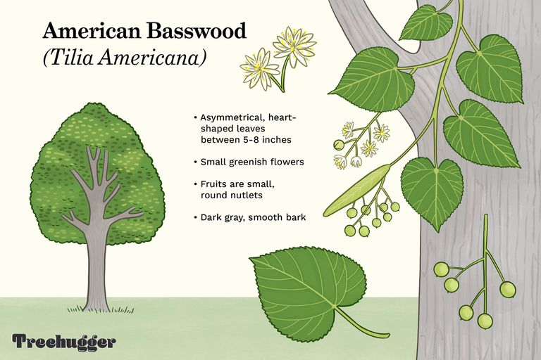 American Basswood (Tilia Americana) tree illustration ID