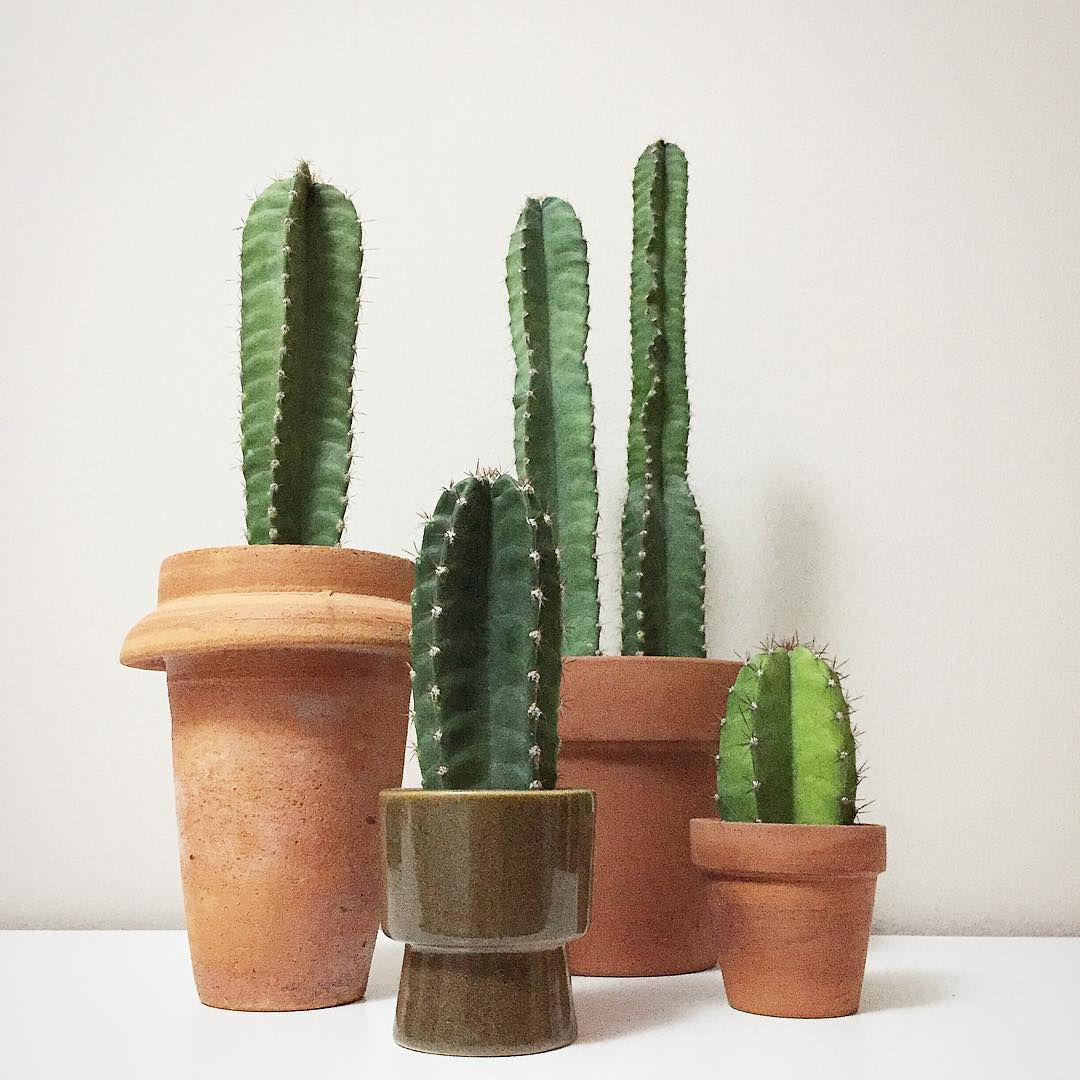 several cacti growing in clay pots