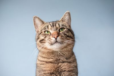 striped kitty purrs against pale blue background