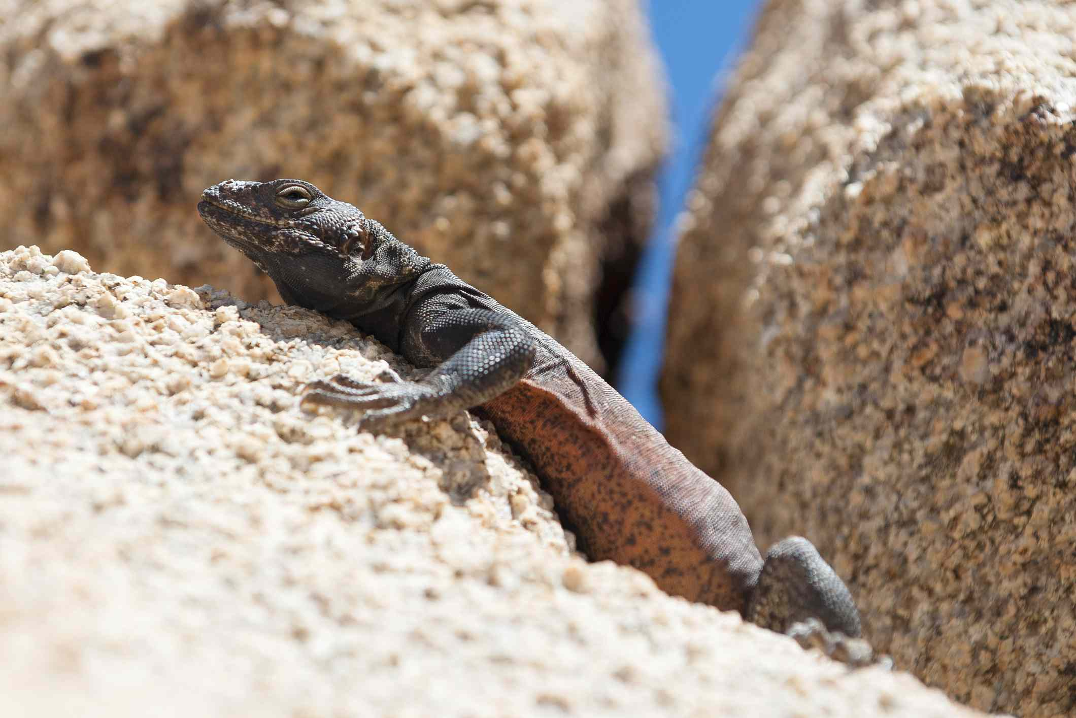A black and red chuckwalla lizard sits on a light brown rock