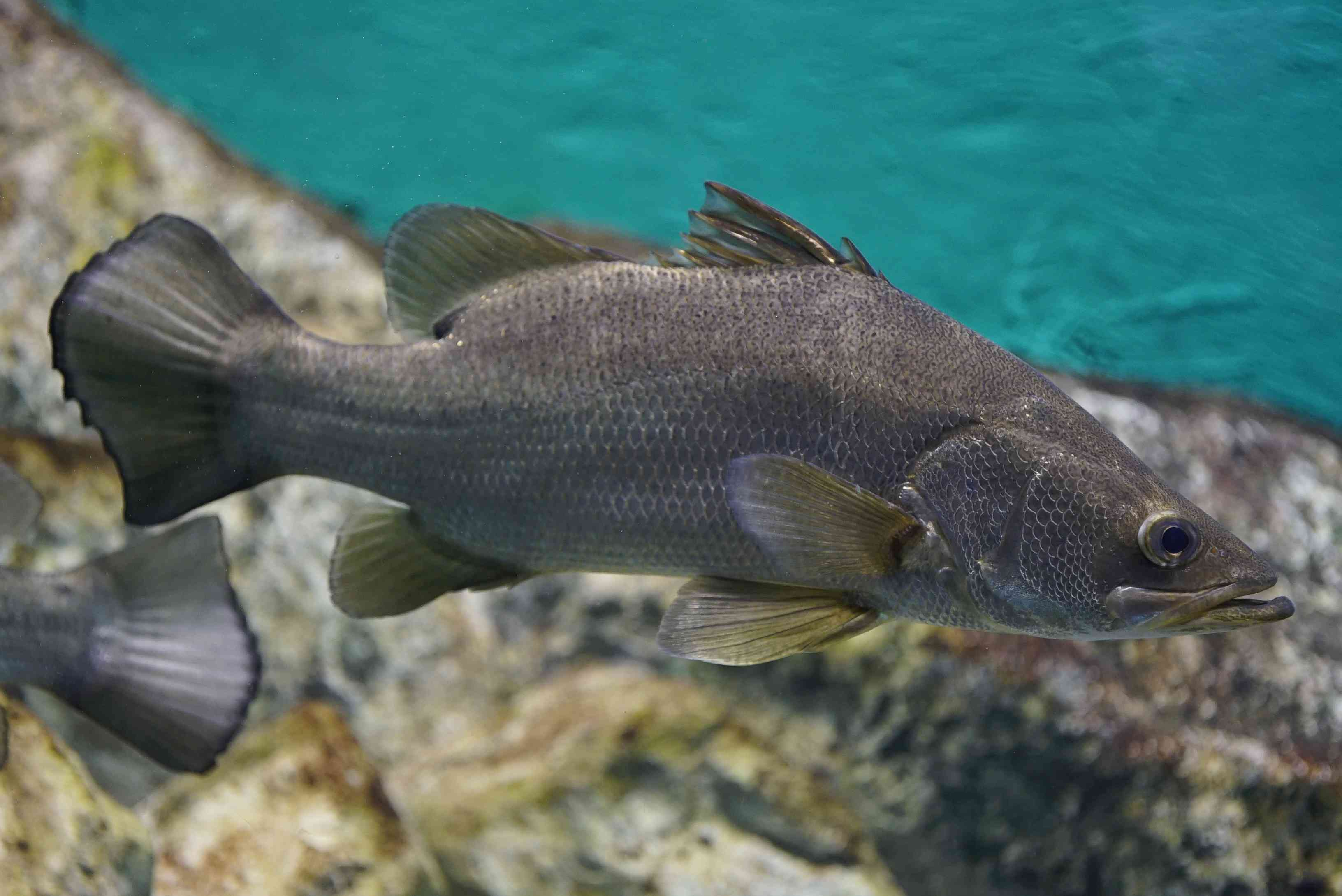 Side view of a Nile perch swimming in water with rocks below