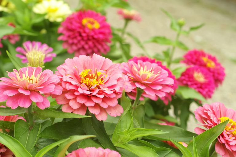 Garden bed packed with pink zinnias