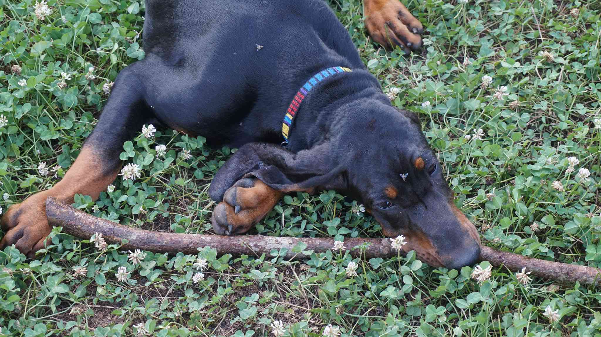dog rests with his stick