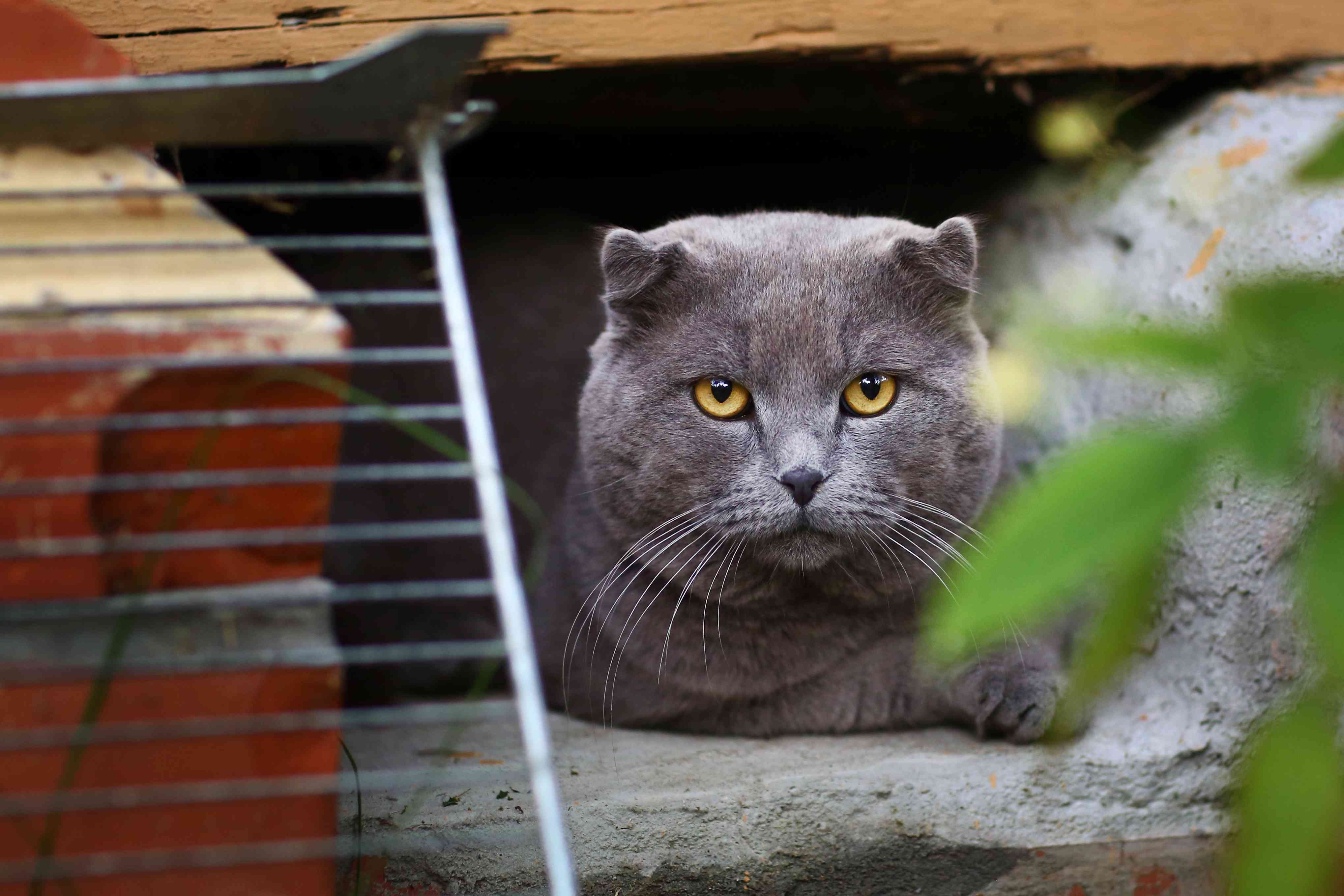 Close-up of gray cat's face