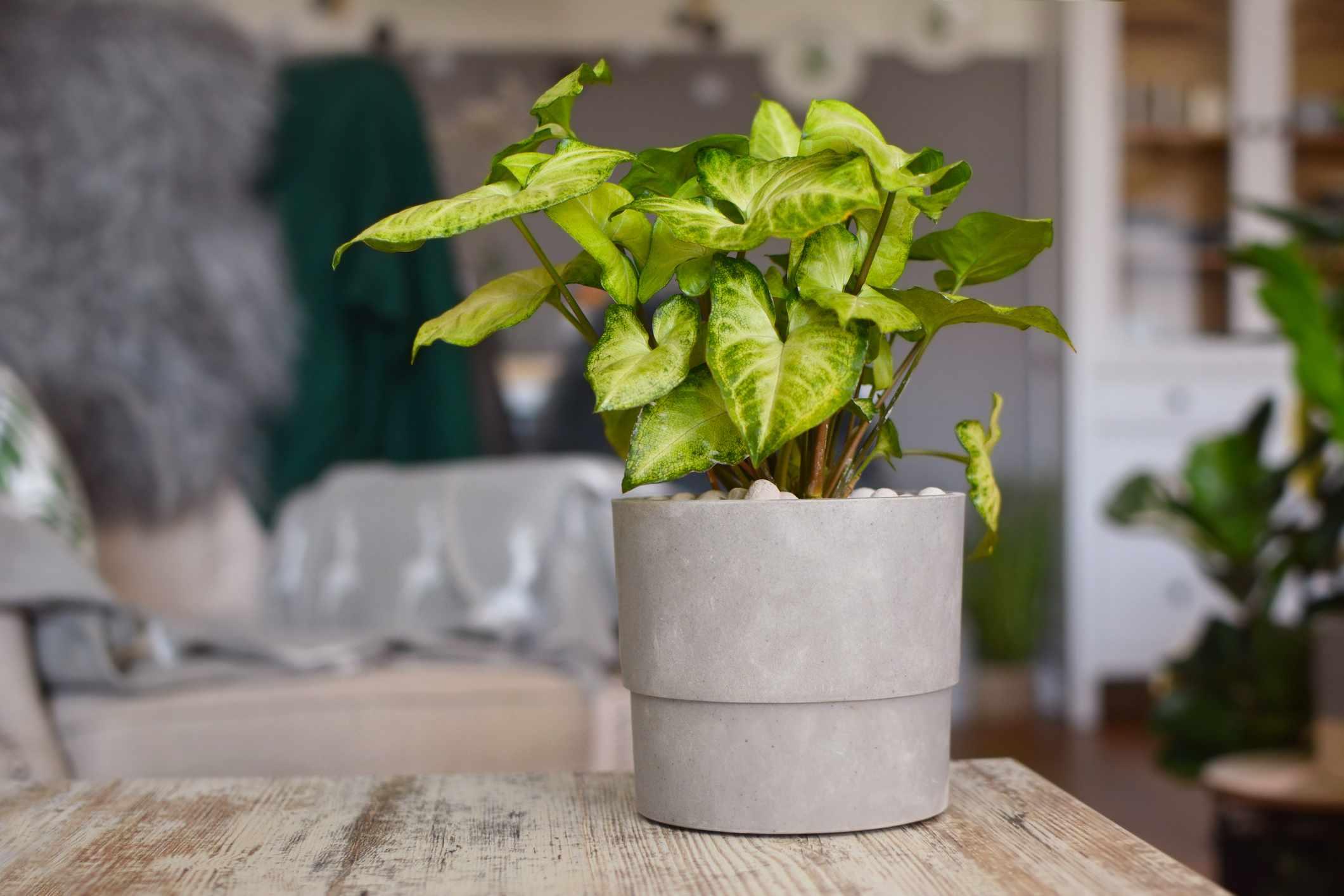 Arrowhead plant in a pot on the table