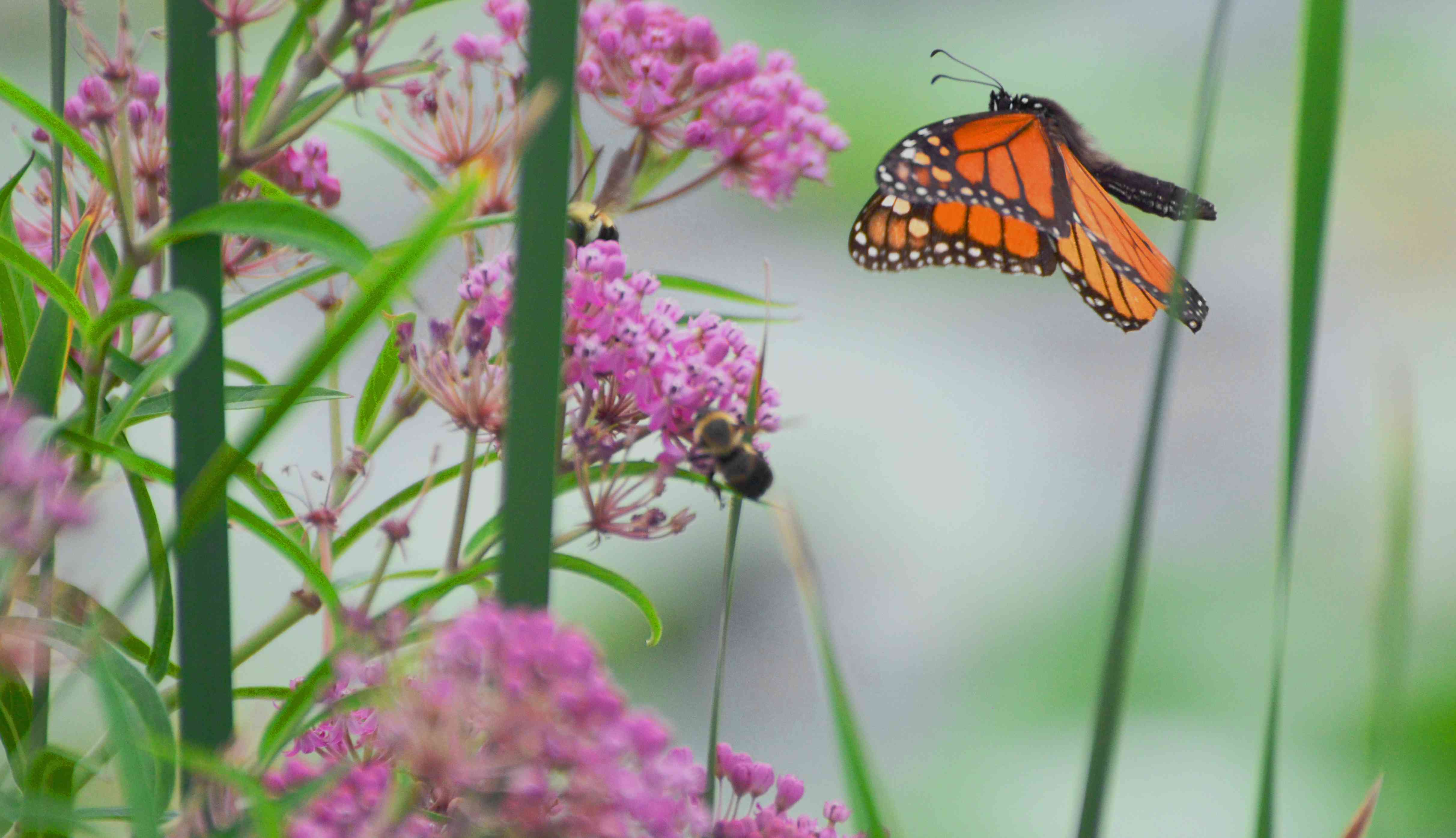 monarch butterfly and bees