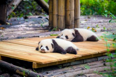 Baby pandas laying on a deck