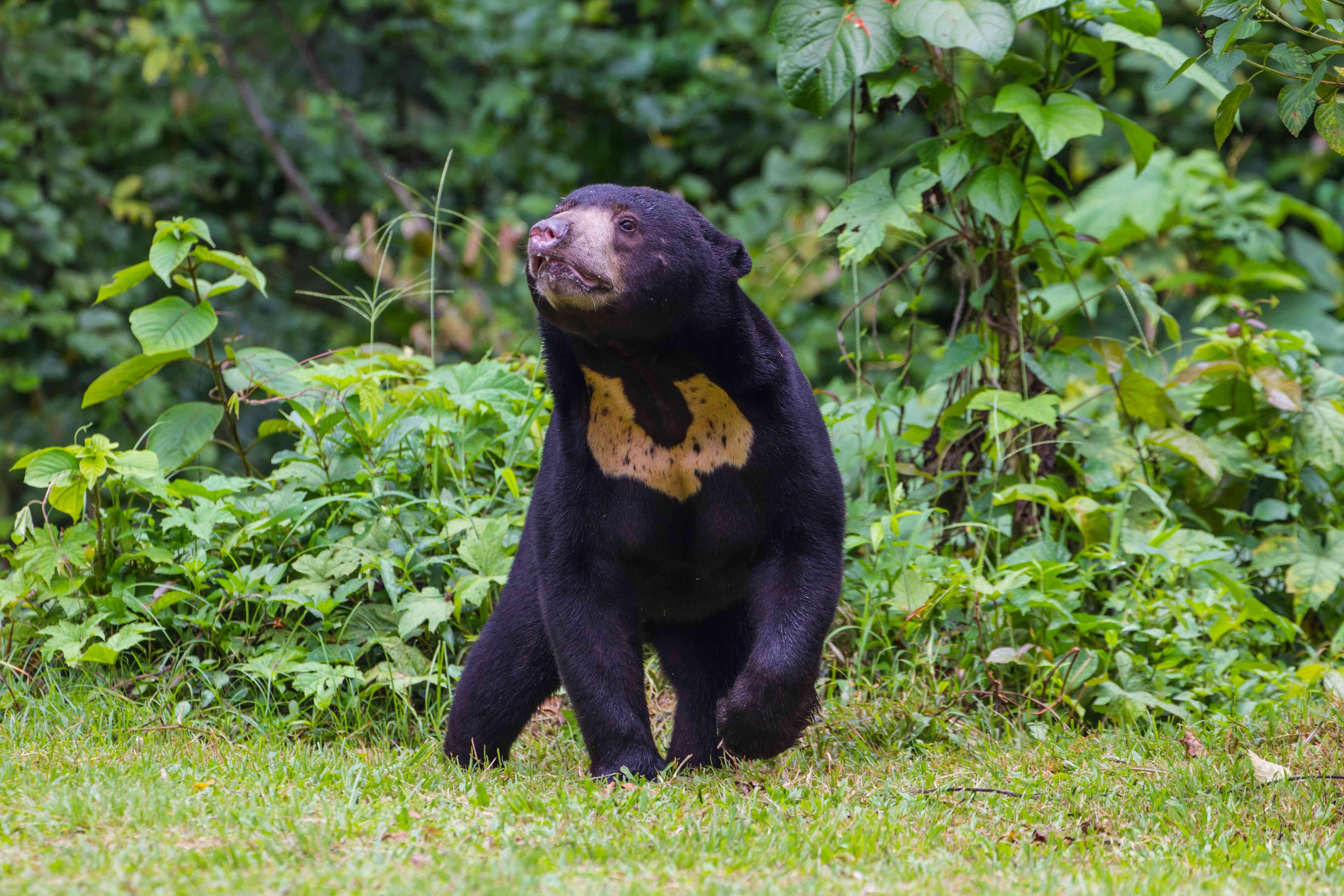 sun bear, Helarctos malayanus