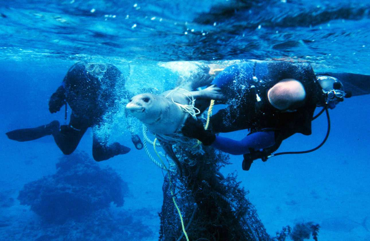 Heroic divers free a seal from a ghost fishing net.