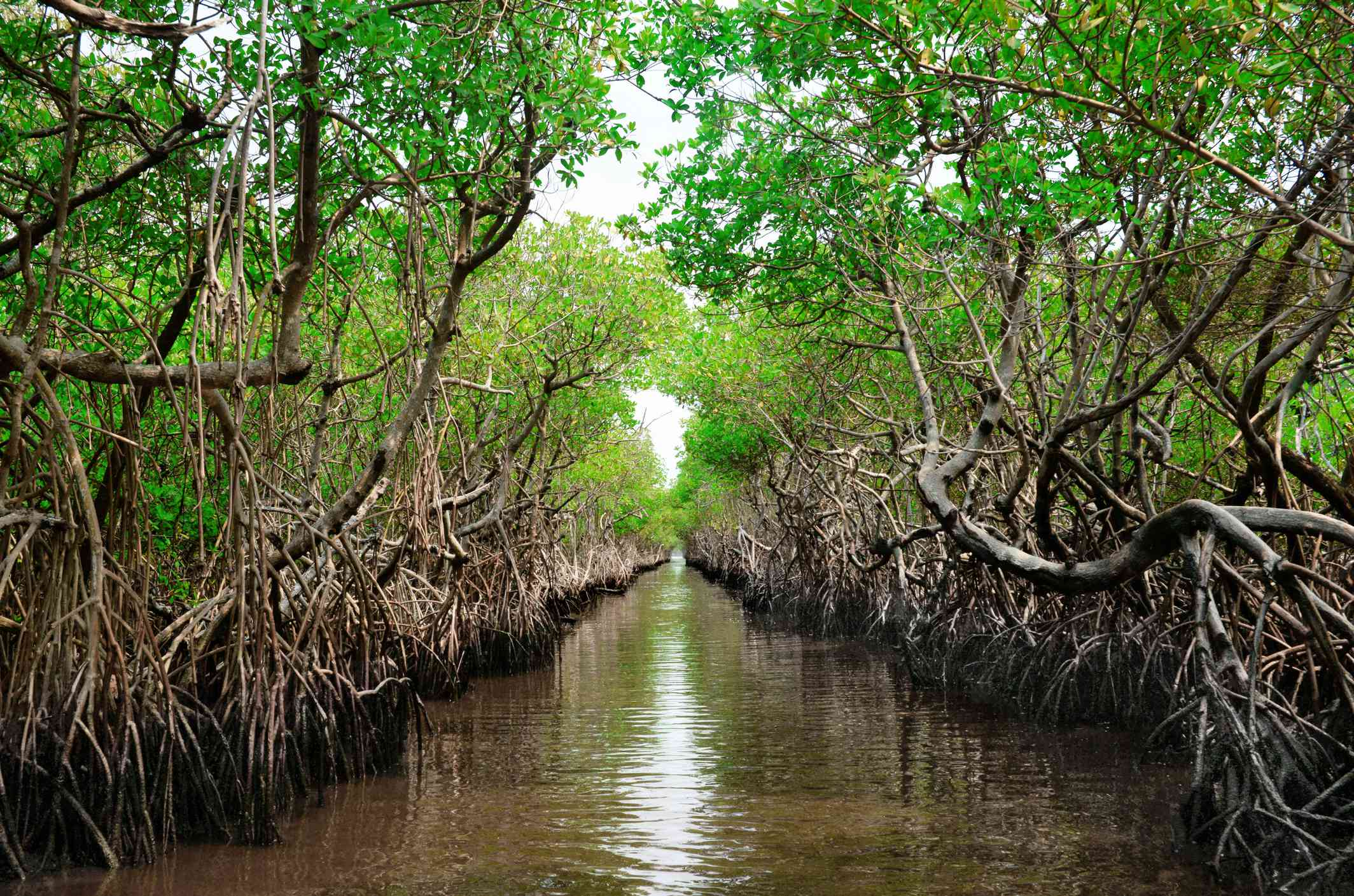 Mangroves growing along a waterway in Everglades National Park