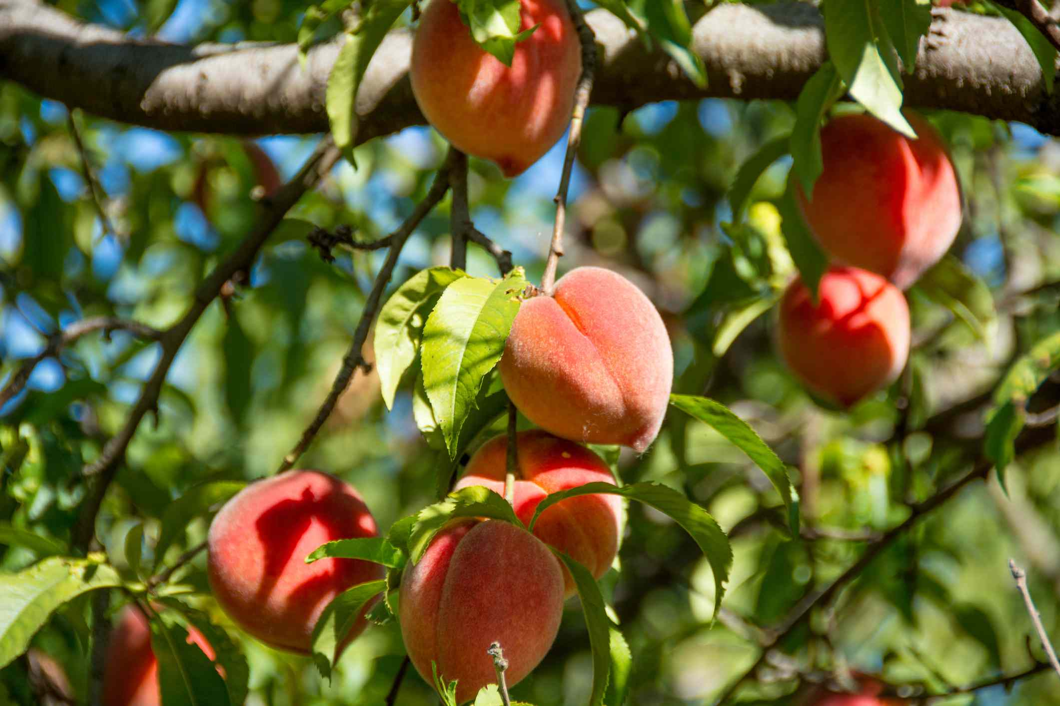 Peaches hanging of a tree in bright sunny light.