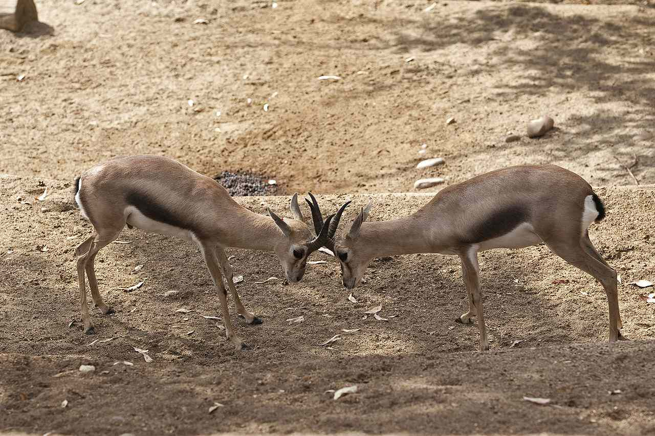 Two Speke's gazelles with horns hooked together.