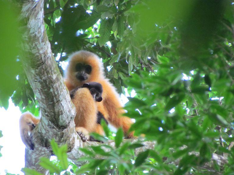 Una nueva familia ofrece esperanza para el mono más raro de la Tierra