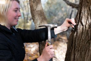 woman outside hammers maple tap to tree