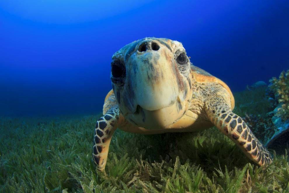 Hawksbill sea turtle looking at camera