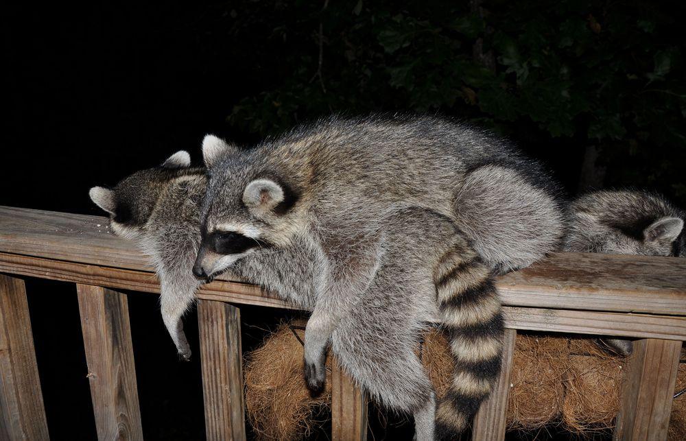 two raccoons sleeping on wood railing