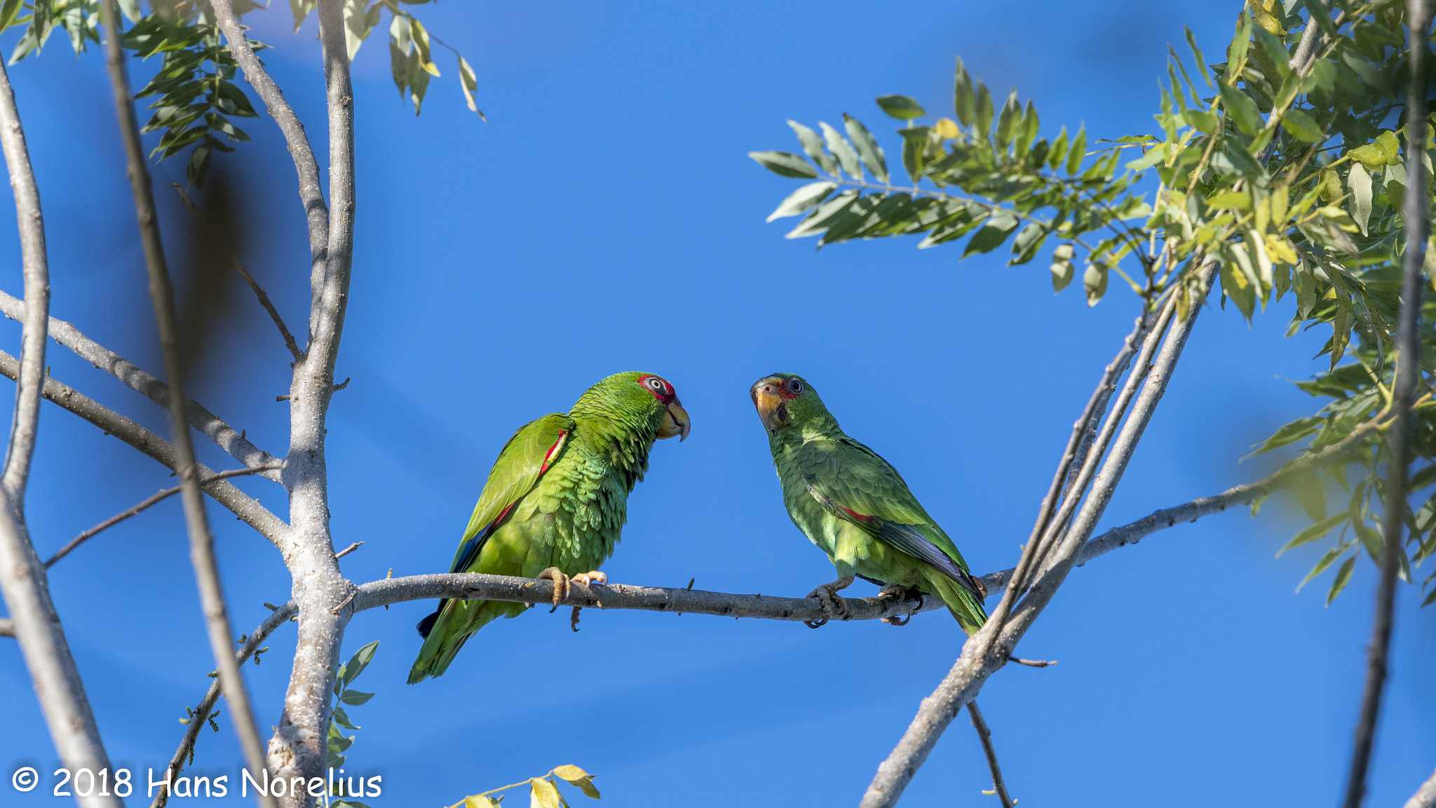 pair of white fronted Amazon parrots, The male has the red feathers on the shoulder and the female has green shoulders
