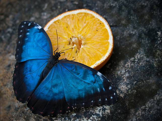Blue animals: Morpho butterfly