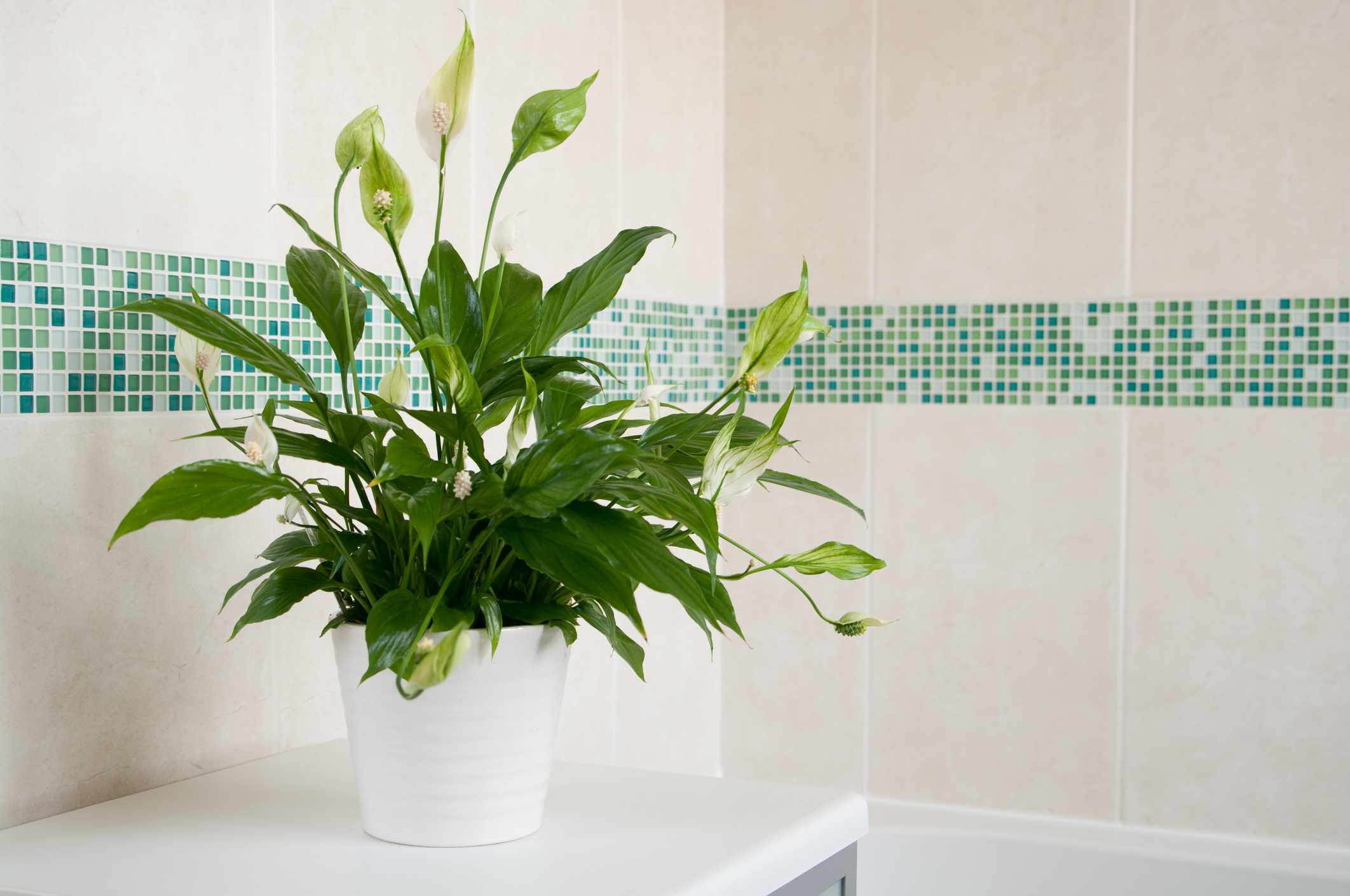 Spathiphyllum (Peace Lily) in white ceramic pot in front of mosaics of green and plain cream ceramic wall tiles.