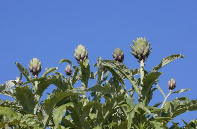 Artichoke plant with artichoke buds on top in front of a blue sky