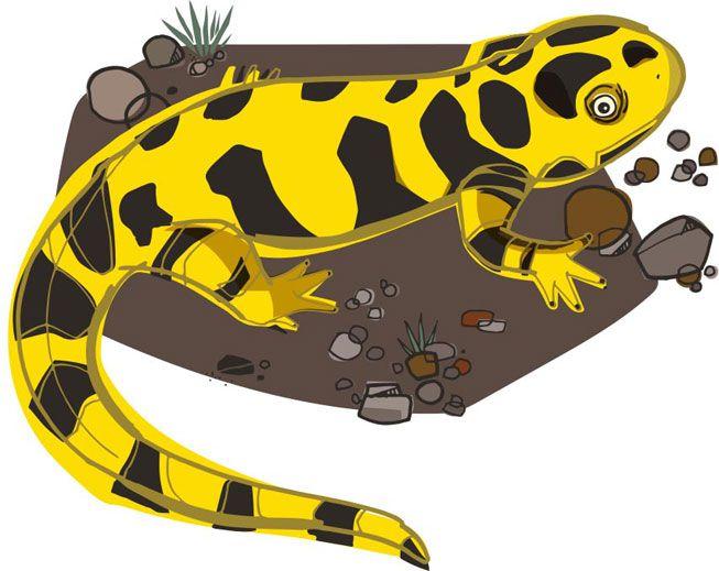An illustration of a salamander