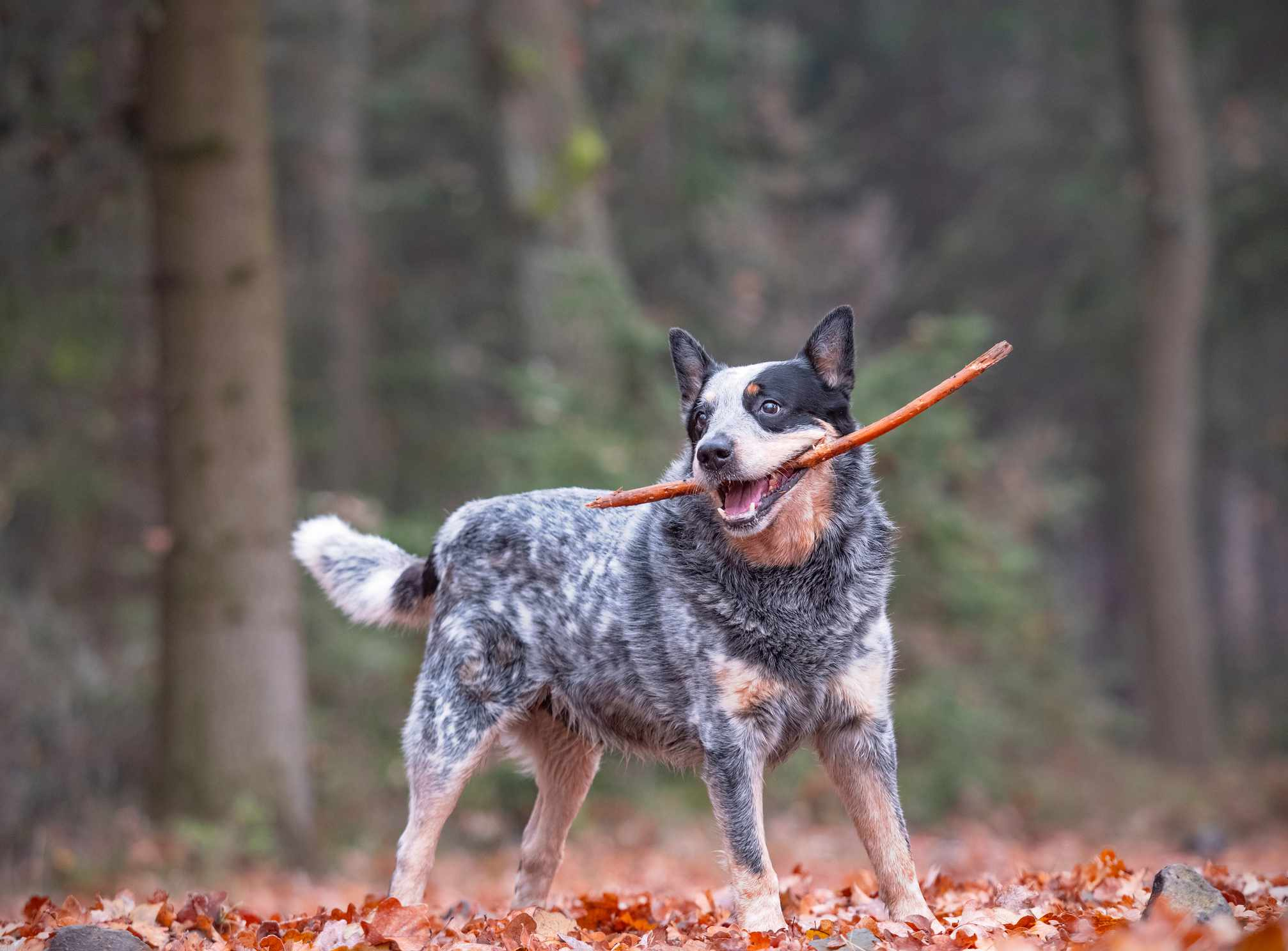 Australian cattle dog plays outside in fall weather holding large stick in mouth