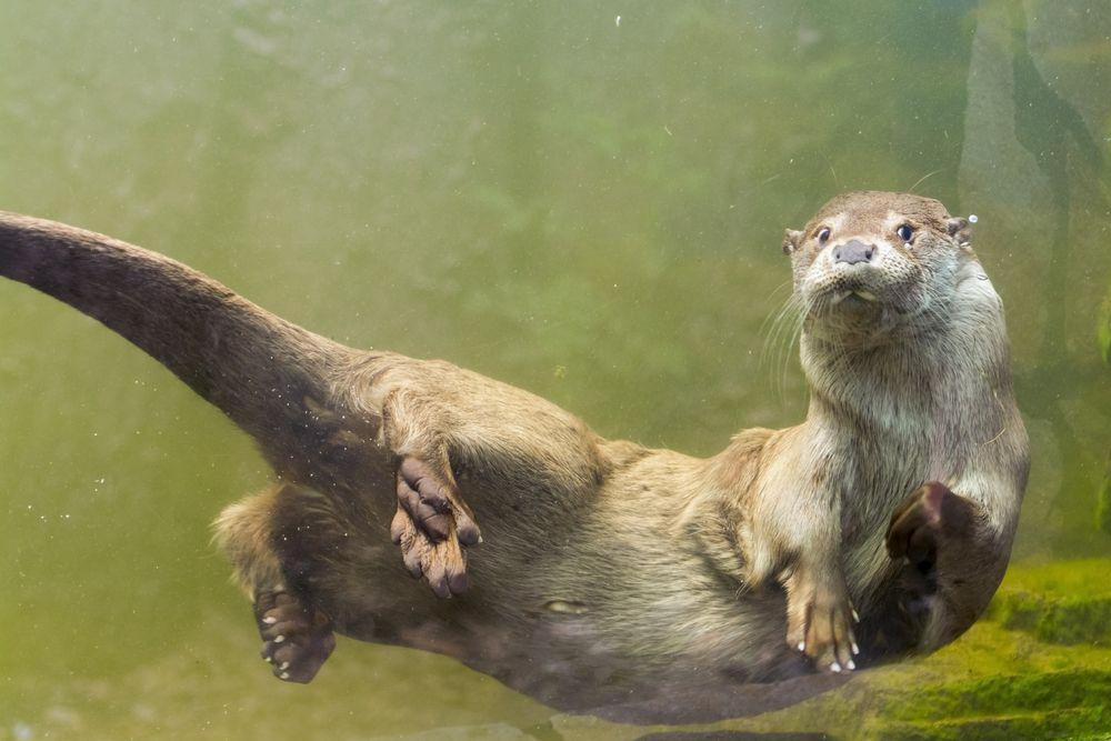 Underwater shot of otter swimming