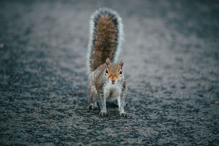 A squirrel with an erect tail on pavement.