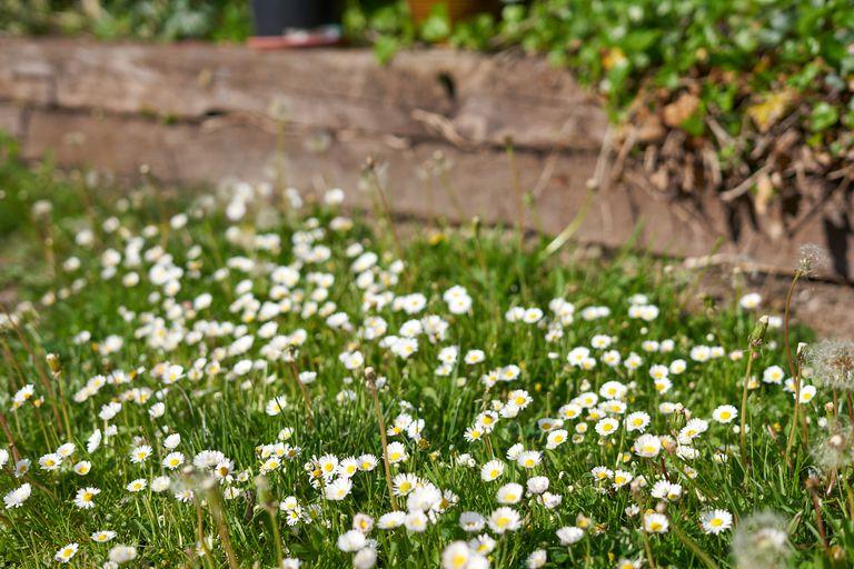 Lawn daisy (Bellis perennis) grows wild near wooden fence