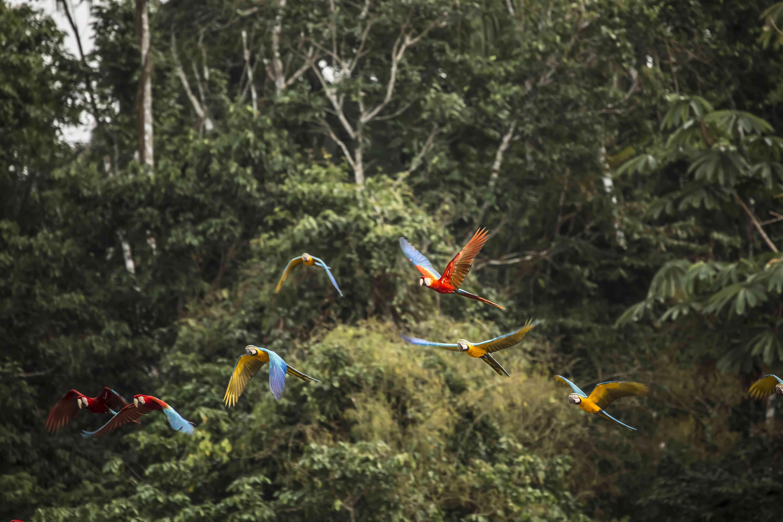 Birds flying against rainforest in Puerto Maldonado, Tambopata, Peru