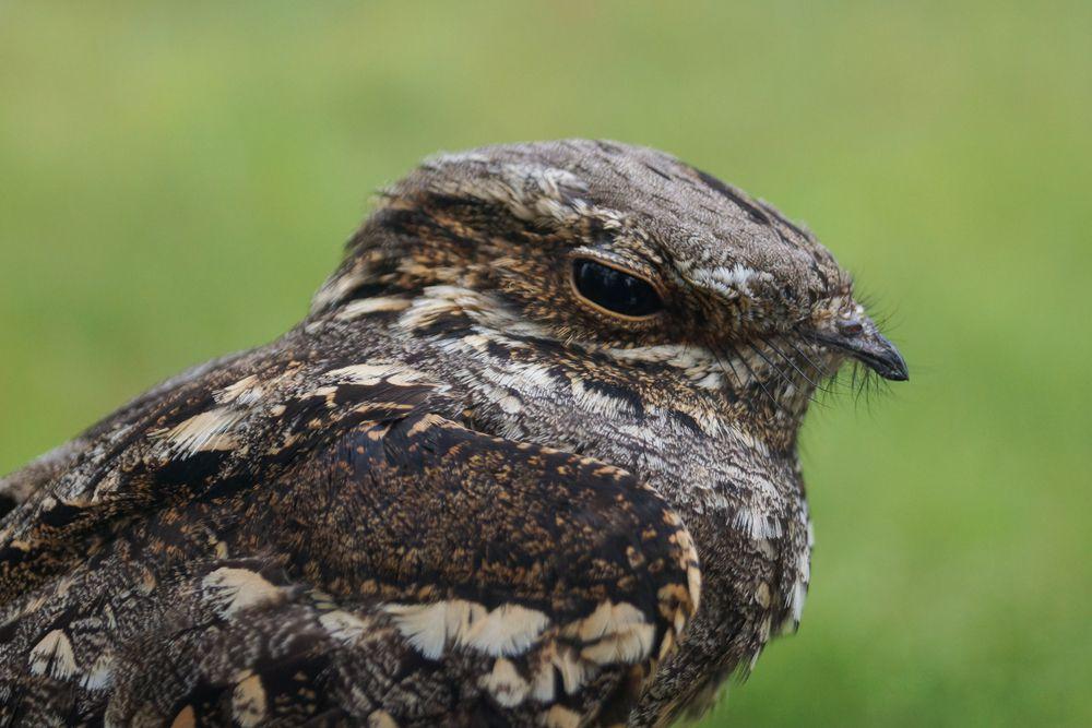 Close-up of European nightjar's face and upper body