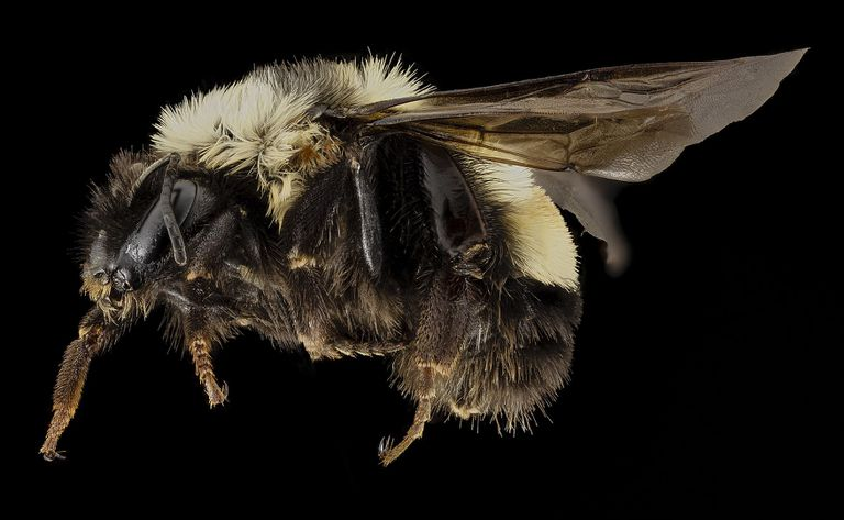 Rusty patched bumble bee (Bombus affinis)