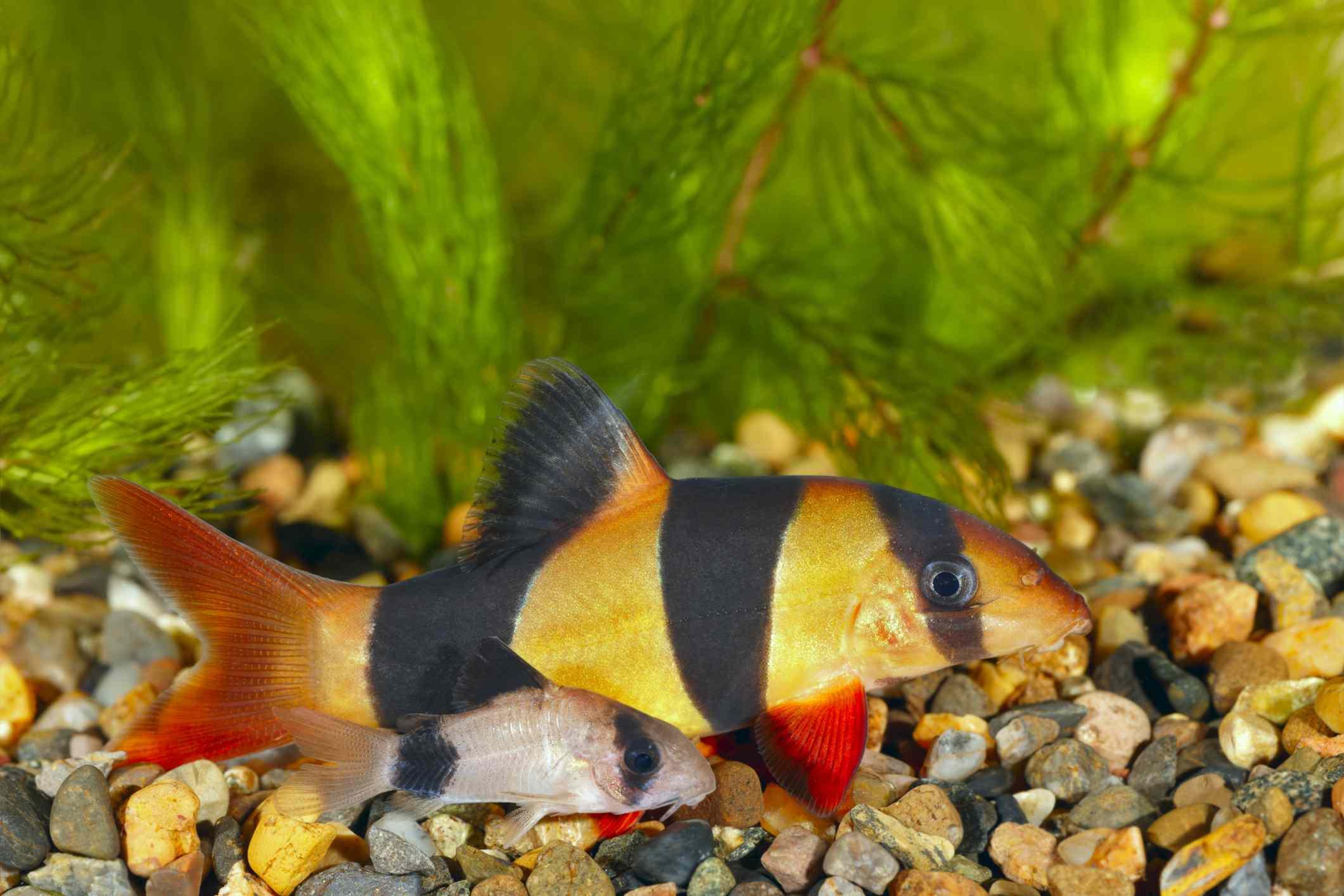 An orange and black-striped cory catfish on a rocky bottom.
