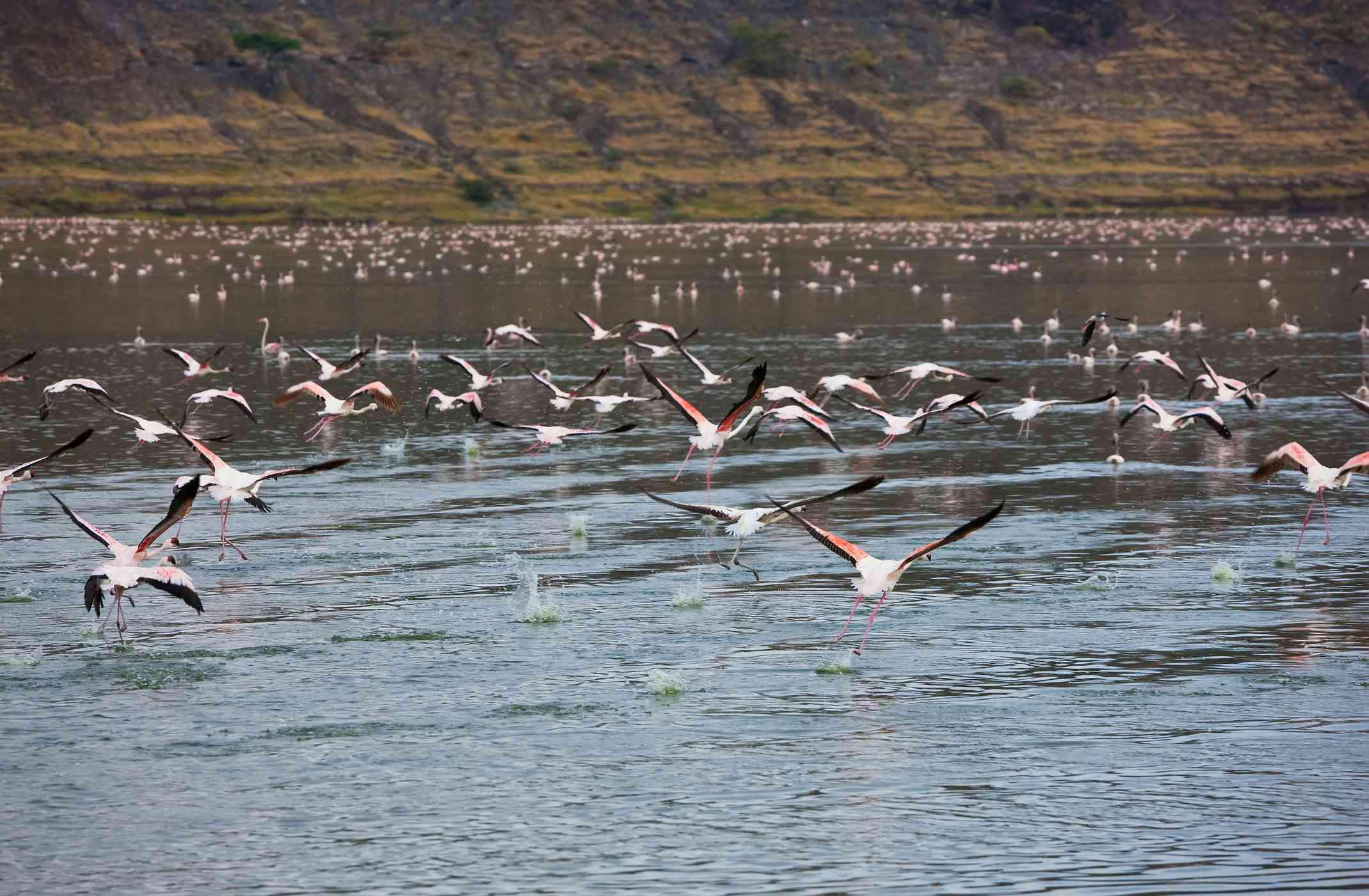 Flamingos flying over a lake.