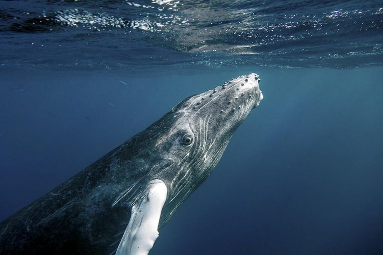 Profile view of a humpback whale underwater.