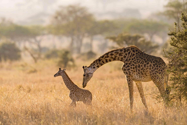 Giraffe calf and mother in Serengeti
