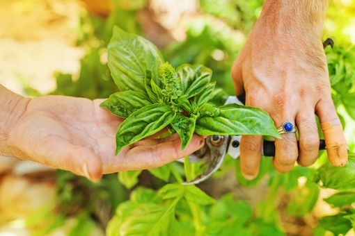White male hand with ring cutting basil flower with garden tool