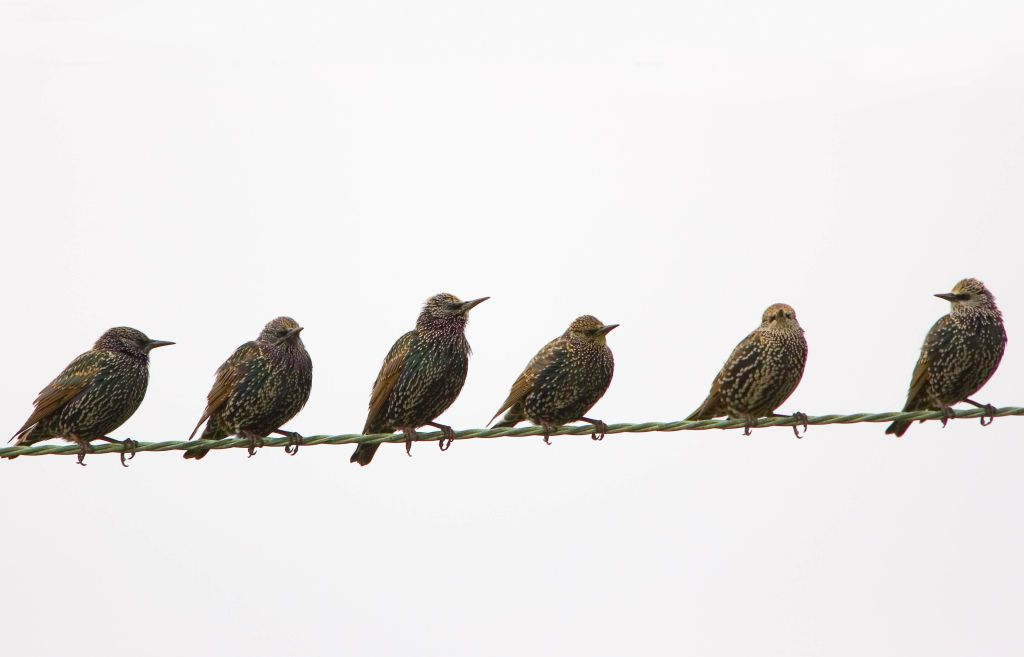 A group of migratory starlings sit perched on a wire.