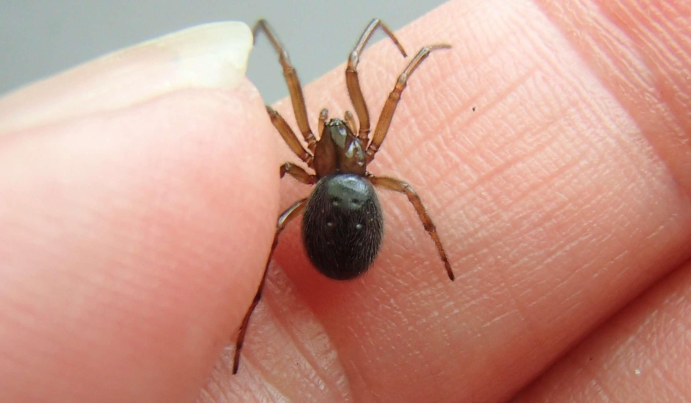 hand holding false black widow spider
